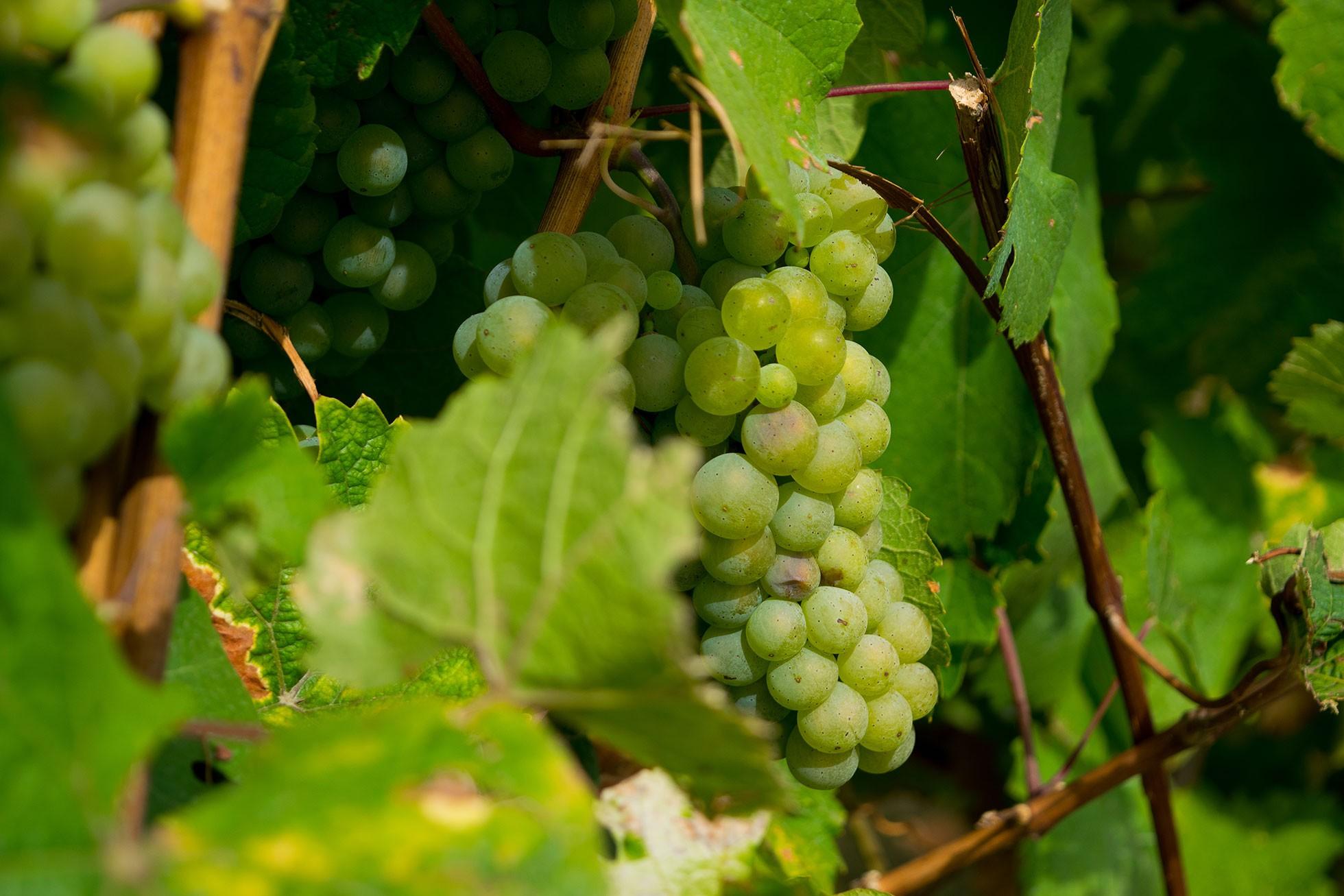 Qu'est-ce qu'un vin blanc bio ?